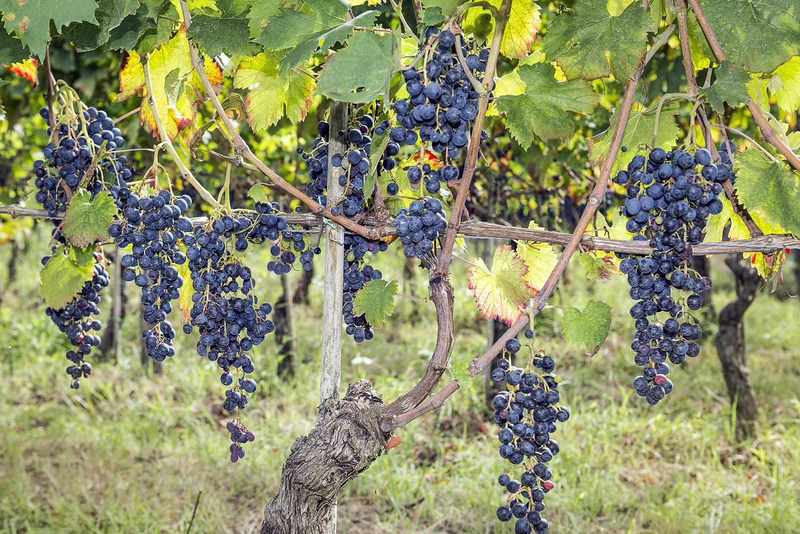 Registrati 10 nuovi vitigni resistenti alle malattie