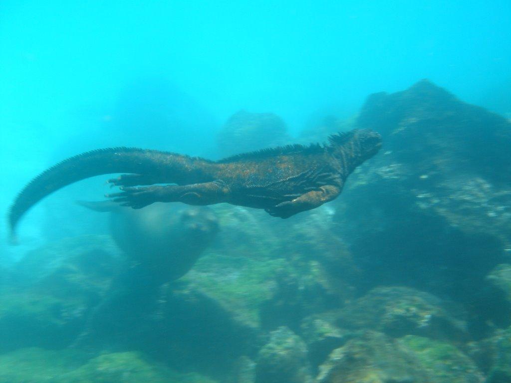 iguana-marina