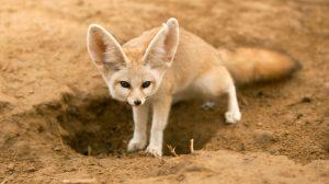 fennec fox hole