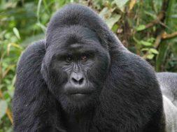 gorilla-01