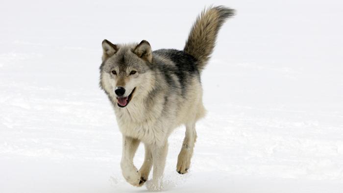 """Valle D' Aosta: a Nus incontro dibattito su """"Il ritorno naturale del lupo sulle Alpi, il 29/6"""