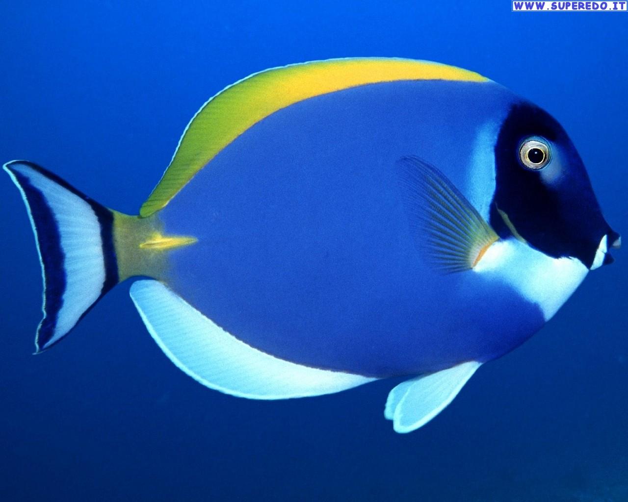 Secondo un nuovo studio, i pesci riescono a riconoscere il volto umano