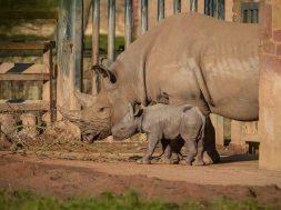 rinoceronte_cucciolo_1 (1)