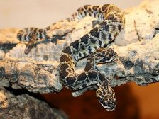 serpente 2 teste